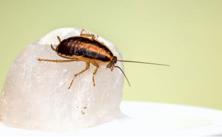 金秋金鸟|蟑螂到处跑 如何快速安全的除掉?