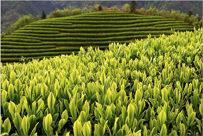 松阳政府再度牵手淘宝春茶节,打造有品质的大众茶