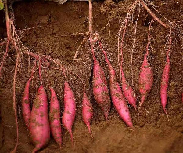 赞麦源选上架海南沙栗薯 源选觅语打造薯中贵族