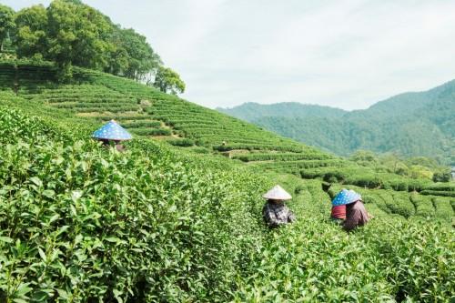 春茶直播日看京东超市与中茶协战略签约仪式 百余场直播带消费者亲临原产地