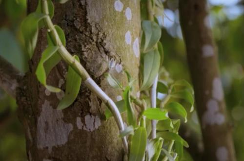 千年东方仙草高山石斛兰助力 植物医生掀起高山植物护肤风潮