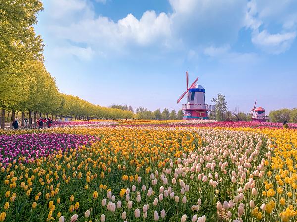 第十二届北京郁金香文化节开幕,近距离感受花与画的交错时空