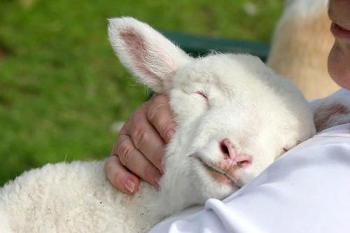 Spring Sheep婴儿绵羊奶粉告诉你,纯净的好奶粉喝起来是这样的...