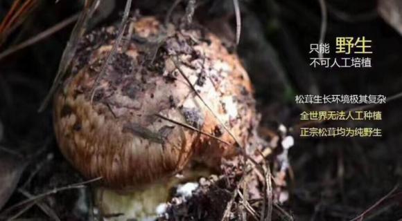 植物医生:【菌中之王】松茸,高山上的好营养,给肌肤尝一尝