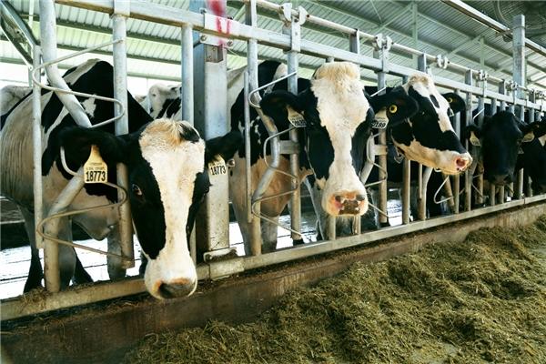 """""""认养一头牛"""":专注养牛的长期主义者"""
