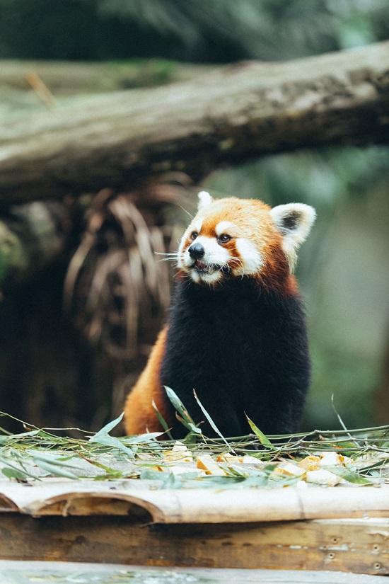 法优乐飞机头小酸奶爱心认养南京红山森林动物园小熊猫小仙