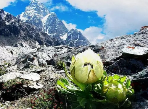 盛开在西方的传奇奇葩 植物学家带来高山雪莲给皮肤新的能量