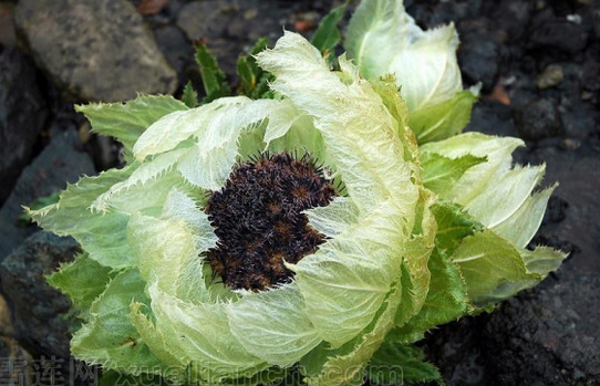 植物医生:相见恨晚的美白植物——高山雪莲