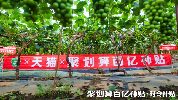 """""""阳光玫瑰""""搭上聚划算百亿补贴浪潮,贵族水果逆袭平民市场"""