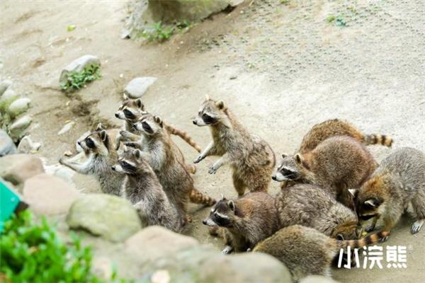 认养小浣熊,助力野生动物保护