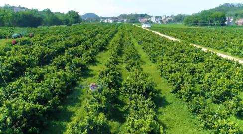 桔子正当红,四会市沙糖桔产业园等你来!