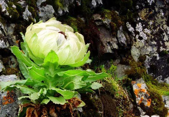 植物医生追溯中华九大仙草之一 高山雪莲成就纯净护肤新体验