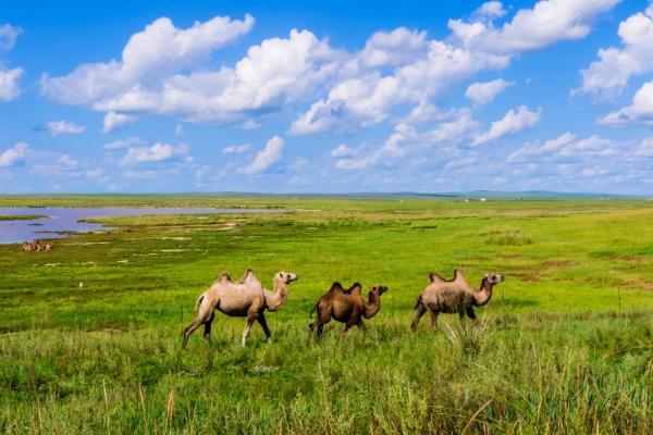 乡村振兴|可克达拉市与雪莲高山牧场签约,大力发展骆驼产业
