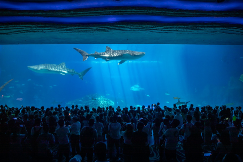 长隆再次繁育豹纹鲨,致力维护鲨鱼种群多样性