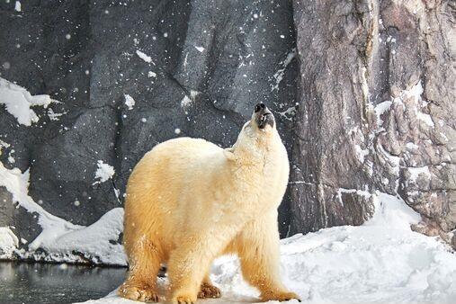 实惨!气候变化之下,北极熊被迫近亲繁殖、自相残杀、与灰熊交配……
