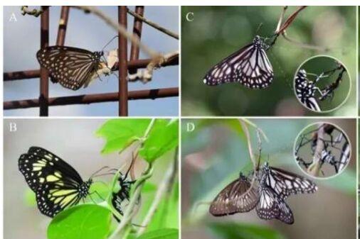 雄性蝴蝶为了让自己毒性更强、散发魅力求偶雌性,以自己的幼体为食!