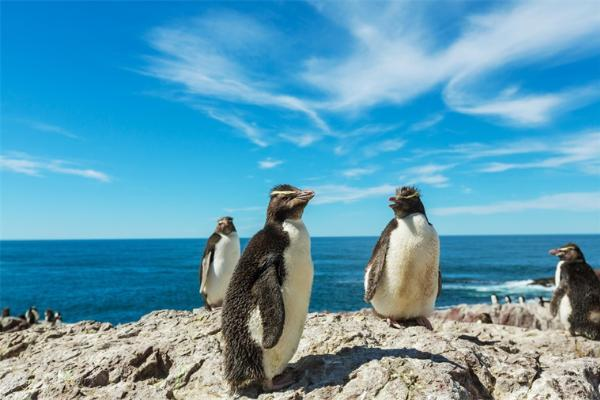笑哭!荷兰同性恋公企鹅时隔一年再偷蛋 不孵出自己的小企鹅绝不罢休