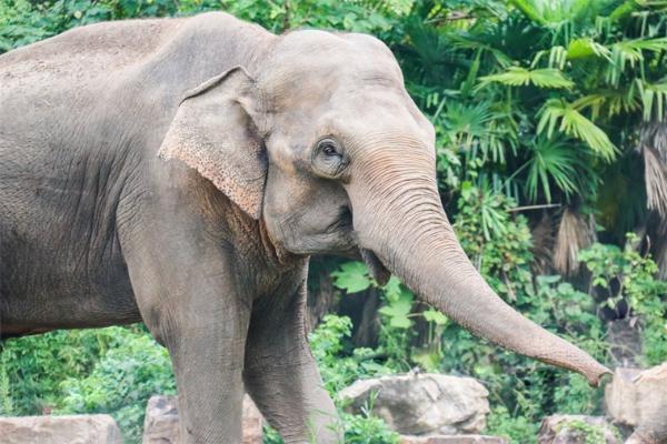 """跟人一样?研究表明:亚洲象的生长受益于有""""兄弟姐妹"""""""