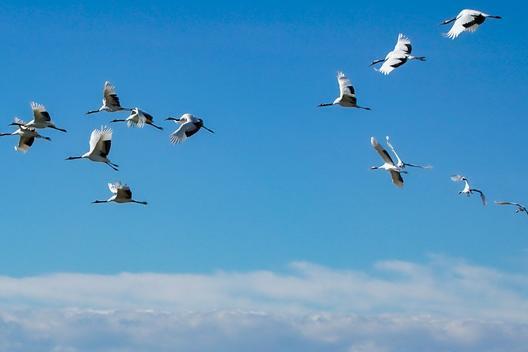 鸟类飞行也拼天赋!翅膀形状决定鸟类散布距离,细长翅膀的鸟能飞得更远