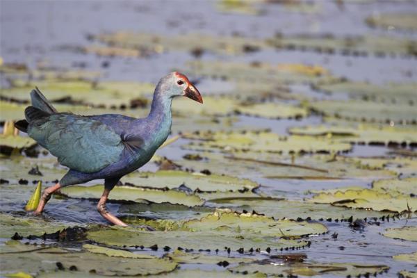 """海南喜现""""世界最美水鸟""""!紫水鸡一家四口出门觅食"""