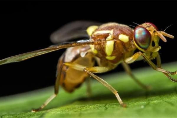 熟睡中还能嗅到某些气味?科学家首次解释睡眠中的果蝇如何对气味做出反应