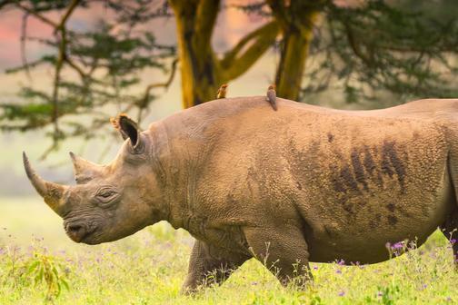犀牛的交配事故:第一次约会发生追逐,雌犀牛不幸溺水身亡