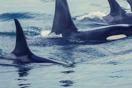 """科学家研发新的深度学习算法,可精确检测露脊鲸的""""呼""""声"""