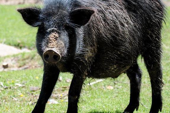 野猪每年竟排放490万公吨二氧化碳,相当于110万辆汽车的排放量!