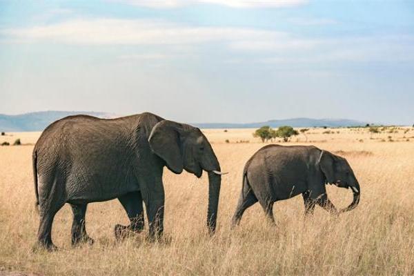 """唏嘘!非洲母象正迅速进化成""""无牙象"""",或为躲避人类..."""