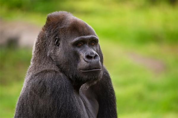 来自同一祖先的黑猩猩和人类为什么还是存在差异?新研究表明可能与一个DNA片段有关