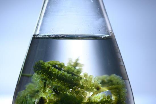 美国科学家新工程:改造蓝藻,使其利用电力将二氧化碳转化为燃料