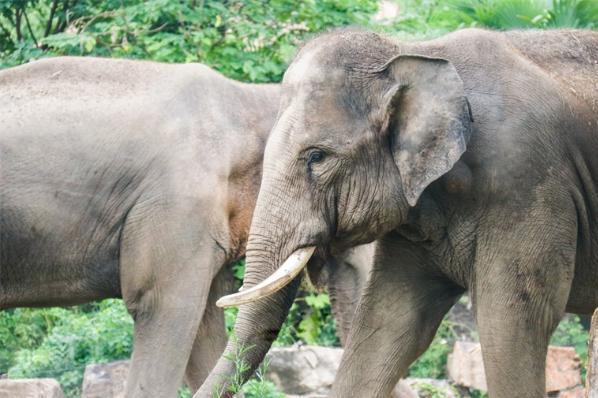 """研究表明:一旦同伴""""垄断""""食物,亚洲象就会终止合作关系"""
