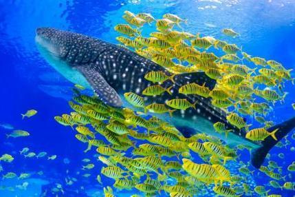 关注鲸鲨生存危机 长隆致力海洋动物保护