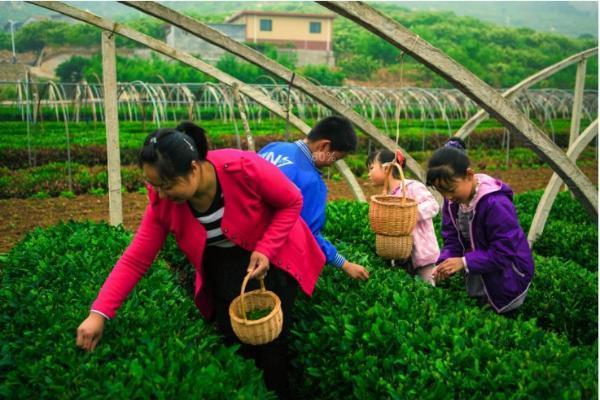 走好乡村振兴路,发展特色长清茶